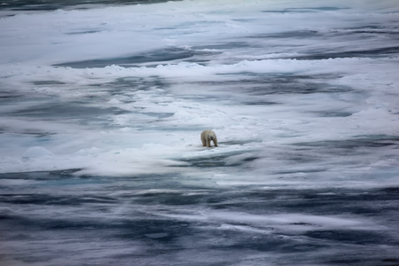 Polar bear near North pole (86-87 degrees) 2016. Hunting behaviour. Male in characteristic pose, waiting at seal near hole (posture by putting legs together for hours)