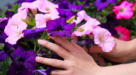 I love the flowers! Womans hands touch jalap, Mirabilis jalappa in flowerbed: landscaping, garden design