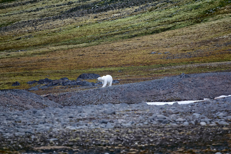 Polar bear on the Franz Josef Land. Arctic cold desert and areas of tundra on South side of mountains