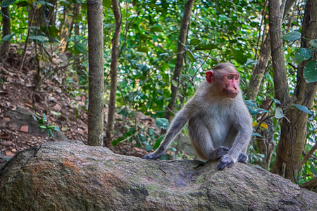 Indian macaques in dry season. Illustration of an arboreal life females Stock Photo
