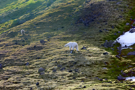 Family of polar bears on Northbrook island (Franz-Josef Land). Cub very dirty, as rolls from rock ledge of bird colony. Backlight and glowing fur of bear