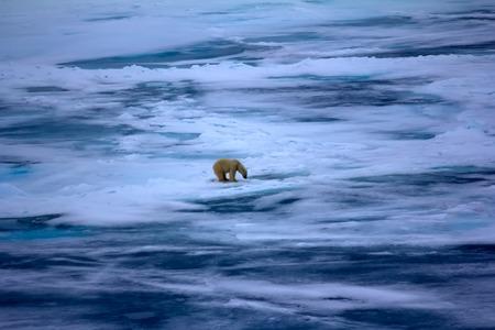 ホッキョクグマ北極 (86-87 度) 2016 近く。狩猟行動。シール穴 (長時間一緒に足を置くことによって姿勢) の近くで待っている、特徴的なポーズで男性 写真素材