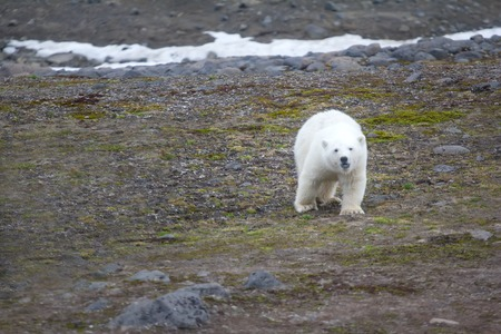 Family of polar bears on Northbrook island (Franz-Josef Land). Overwhelming curiosity: cub approaches never seen before people