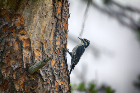 Three-toed woodpecker (Picoides tridactylus, male) - typical species of Northern forest, coniferous taiga
