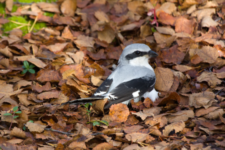 Great grey Shrike hunting for mice among fallen autumn leaves