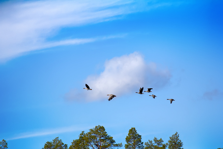 fabalis: Forest-breeding bean goose (Anser fabalis fabalis) - Flock over forest. Photos for identifying bird in flight (for birdwatchers). Lapland, springtime Stock Photo