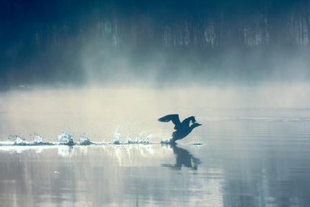 Lente landschap met Loon (mistige ochtend). De vogels waren verspreid op water van meer in mistig bos. Beeld heeft artistieke waarde. Kunststijl van foto. HDR-filter