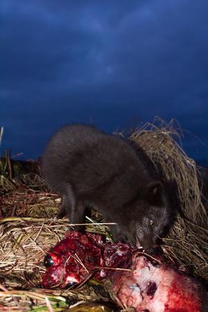 Blue foxes (Alopex lagopus semenovi) come at night to devour carcasses of fur seal (Callorhinus ursinus) which Aleuts harvested on Komandor-Aleutian island ridge Stock Photo