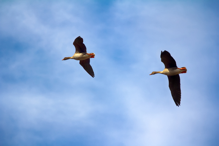 fabalis: Forest-breeding bean goose (Anser fabalis fabalis) - couple (male is larger) of breeding geese flying around. Photos for identifying bird in flight (for birdwatchers). Lapland Stock Photo