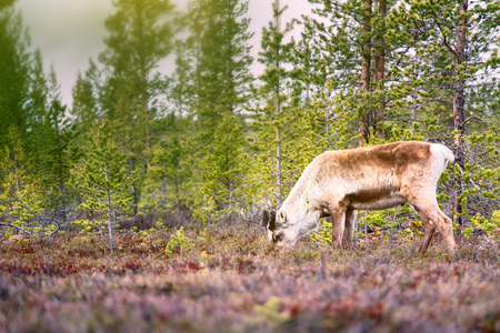 Feral reindeer. These animals are already few live in neutral zone of Russian-Norwegian border and breed here. Refund of caution and wild instincts Stock Photo