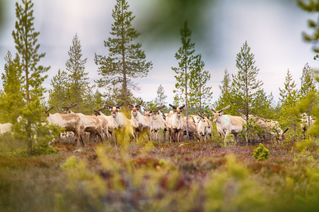 brute: Feral reindeer. These animals are already few live in neutral zone of Russian-Norwegian border and breed here. Refund of caution and wild instincts Stock Photo