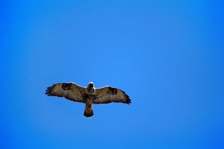 Birds of prey. Rough-legged Buzzard (Buteo lagopus) flying over nest. Birds of tundra and forest-tundra. Lapland