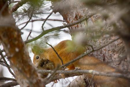 brute: Taiga red squirrel (Sciurus vulgaris) builds drey (nest). Animal mouth ful of moss Stock Photo