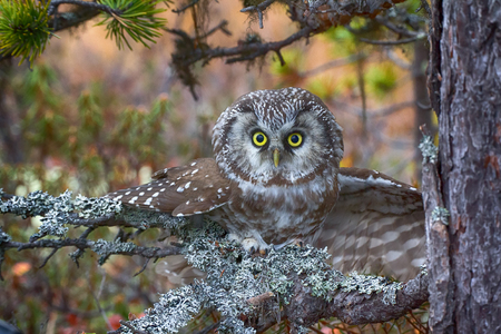 spawn: Aggressive owl in attack (nocturnal predator, spawn of devil). Tengmalms owl (boreal owl, Aegolius funereus) is typical inhabitant of taiga, rare bird. Extremely expressive eyes and big wise head