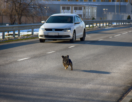 intimidating: Russia, Olympic village - January 31, 2017: car attacking a mad dog on road Editorial