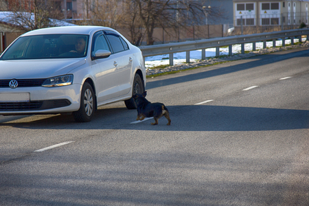 Russia, Olympic village - January 31, 2017: car attacking a mad dog on road Editorial