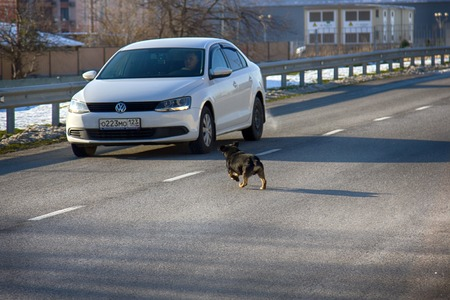 Russia, Olympic village - January 31, 2017: car attacking a mad dog on road Stock Photo