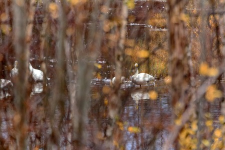 Whooper Swans during migration are careful. Photograph of resting swans made through bushes
