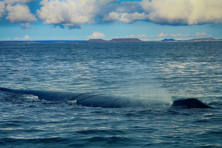 gray whale: Looks like surfaced submarine. Hump-backed whale (Megaptera novaeangliae) can sleep in this position an hour or more