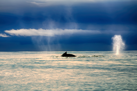 let: Two whales in Pacific ocean in calm weather. One animal dives shows typical roach back, second let out (breath) spouts water, as beautiful as frosted tree