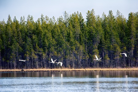 In North spring is in full swing. Birds came from southern edge. Whooper Swans (Cygnus cygnus) flying over taiga river.