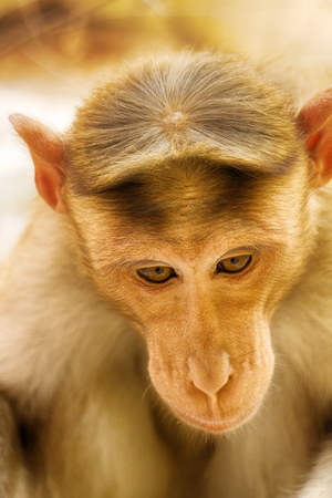 Facial expressions of monkeys are similar to human. Entertaining portraits of Indian monkey Stock Photo