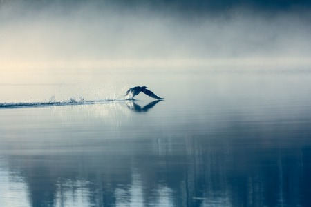 Spring landscape with Loon (misty morning). Bird were scattered on water of lake in misty forest. Picture has artistic value. Art style of photo. HDR-filter