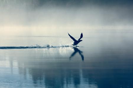 Lente landschap met Loon (mistige ochtend). Vogel waren verspreid over water van meer in mistige bos. Beeld heeft artistieke waarde. Kunststijl van foto. HDR-filter Stockfoto