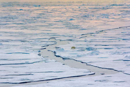 Polar bear near North pole (86-87 degrees) 2016. Hunting behaviour.