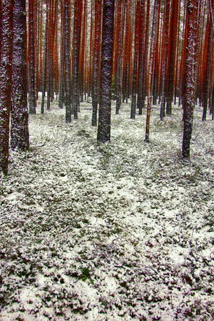 Pine forest in first days of winter. Sprinkled with snow and became pink tree trunks. Observation on the daily walk