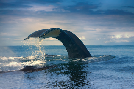 huge Hump-backed whale (Megaptera novaeangliae) tail i
