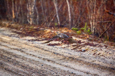 Taiga birds. In spring of capercailye (Tetrao urogallus) out on gravel road and collect gastroliths. Female flies. Lapland Stock Photo