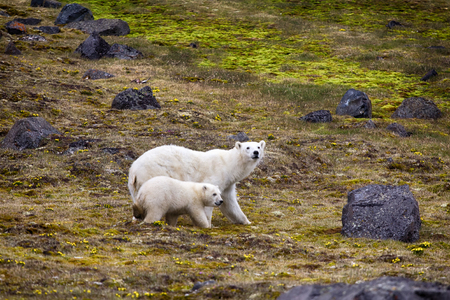Polar Bears on Franz-Joseph Land. Female with funny plump cub on island of NORTHBROOK. Flees after collision with people and shot with rocket