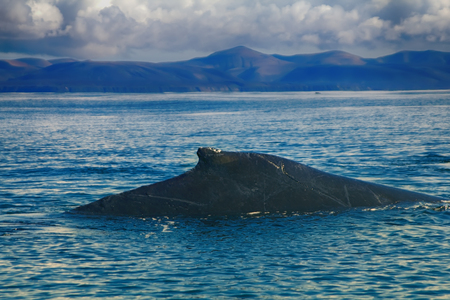 back of old Hump-backed whale (Megaptera novaeangliae) is covered with scars on background of Commander Islands, Pacific ocean