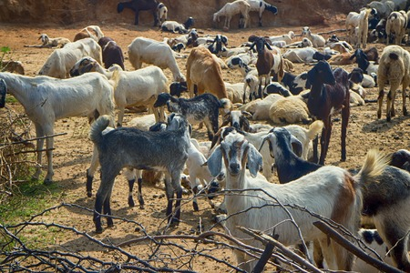 livestock sector: Dry, hilly Prairie of the Deccan plateau (India). Flock of sheep resting in winter sun Stock Photo