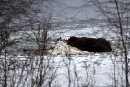 bear lake: Brown bear awoke from hibernation, then killed young elk on lake ice, part ate and sleeping on carcass as pillow-predator guarding his kill, unique picture