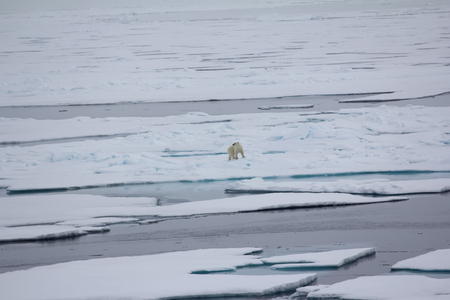 expect: Polar bear near North pole (86-87 degrees) 2016. Hunting behaviour.