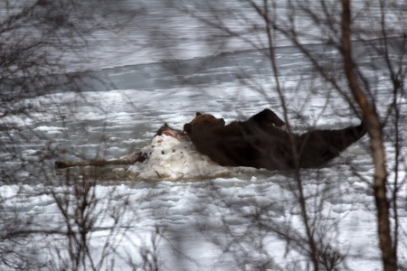 bear lake: Brown bear awoke from hibernation, then killed young elk on lake ice, part ate and sleeping on carcass as pillow - predator guarding its kill. Beast stretching in sleep, unique picture Stock Photo