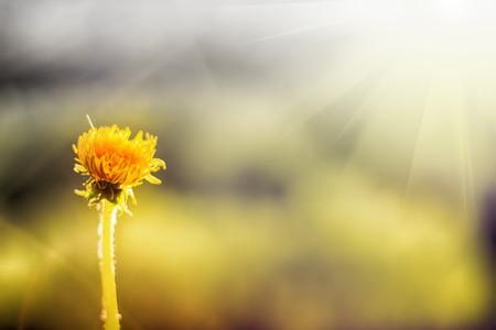 dandelion glows in rays of sun. summer bright warm background Stock Photo