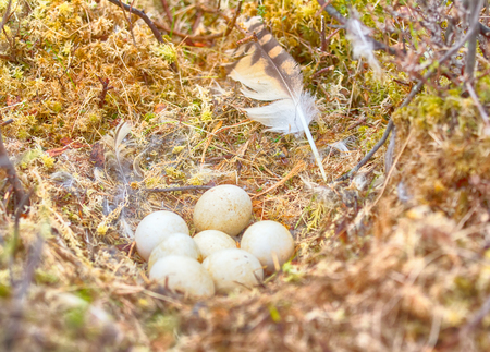 rabbet: Marsh owl (Asio flammeus) build their nests in swamp indeed. Happy clutch of seven eggs on moss between Labrador tea and Dwarf birch
