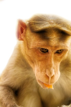 karnataka: Facial expressions of monkeys are similar to human. Entertaining portraits of Indian monkey Stock Photo