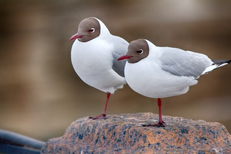 Two legs for two. Two black-headed gulls are almost indistinguishable each other (as like as two peas), they are pair of twins for man, but is quite different. Slender-billed female, breeding plumage Banco de Imagens - 84817380