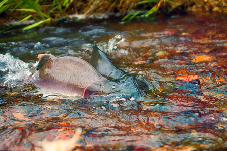 when: when the salmon are running - humpback salmon (Oncorhunchus gorbusha) in shallow of watercourse - life force, vital force, vital energy. Two males compete for access to spawning grounds