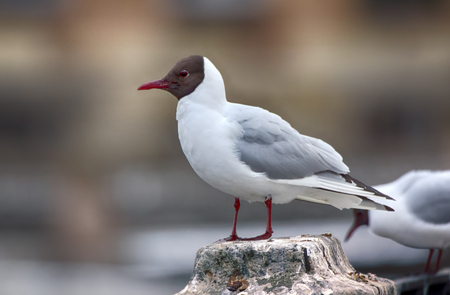 Birds in city have dual meaning. On one hand is aesthetic object, on other they scream and shit (harmful animals). Black-headed gulls on background of houses and cars, fence waterfront