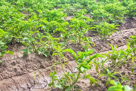 Vegetable growing in open ground. Planting potatoes, potato farming with irrigational system, vegeculture, shortest carrot Stock Photo