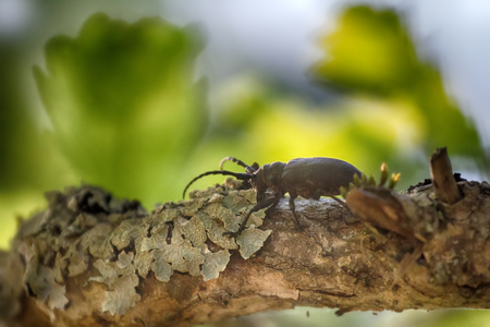 Longhorn beetle crawling on oak - strong beetle and rough bark