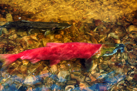 when: when the salmon are running - blueback (Oncorhynchus nerka, male) in the shallow of watercourse - life force, vital force, vital energy
