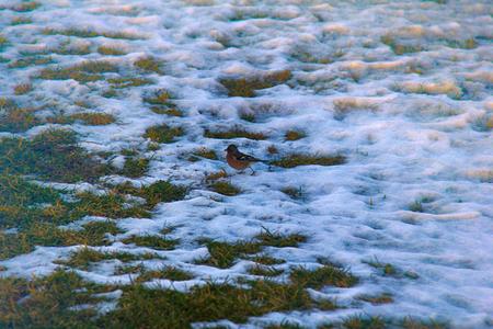 왜, 봄이야! 첫 번째 새들이 와서 해동 된 패치를 먹었습니다. Chaffinch (Fringilla coelebs), 수컷