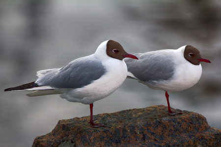 Two legs for two. Two black-headed gulls are almost indistinguishable each other (as like as two peas), they are pair of twins for man, but is quite different. Shorter-billed female, breeding plumage