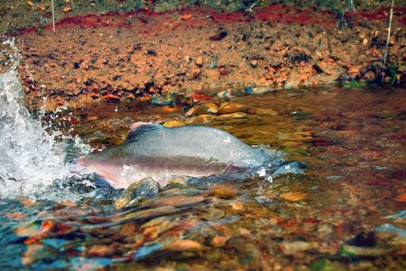 male of humpback salmon (Oncorhunchus gorbusha) in the bottom watercourse Stock Photo
